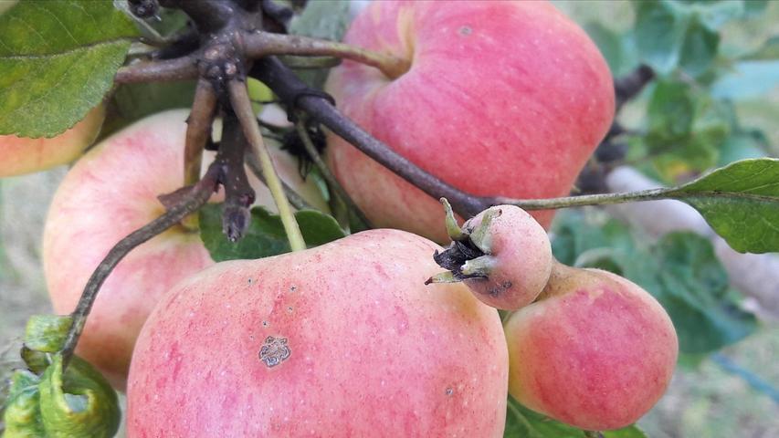 Ob der kleine Apfel bei den Großen mitspielen darf?