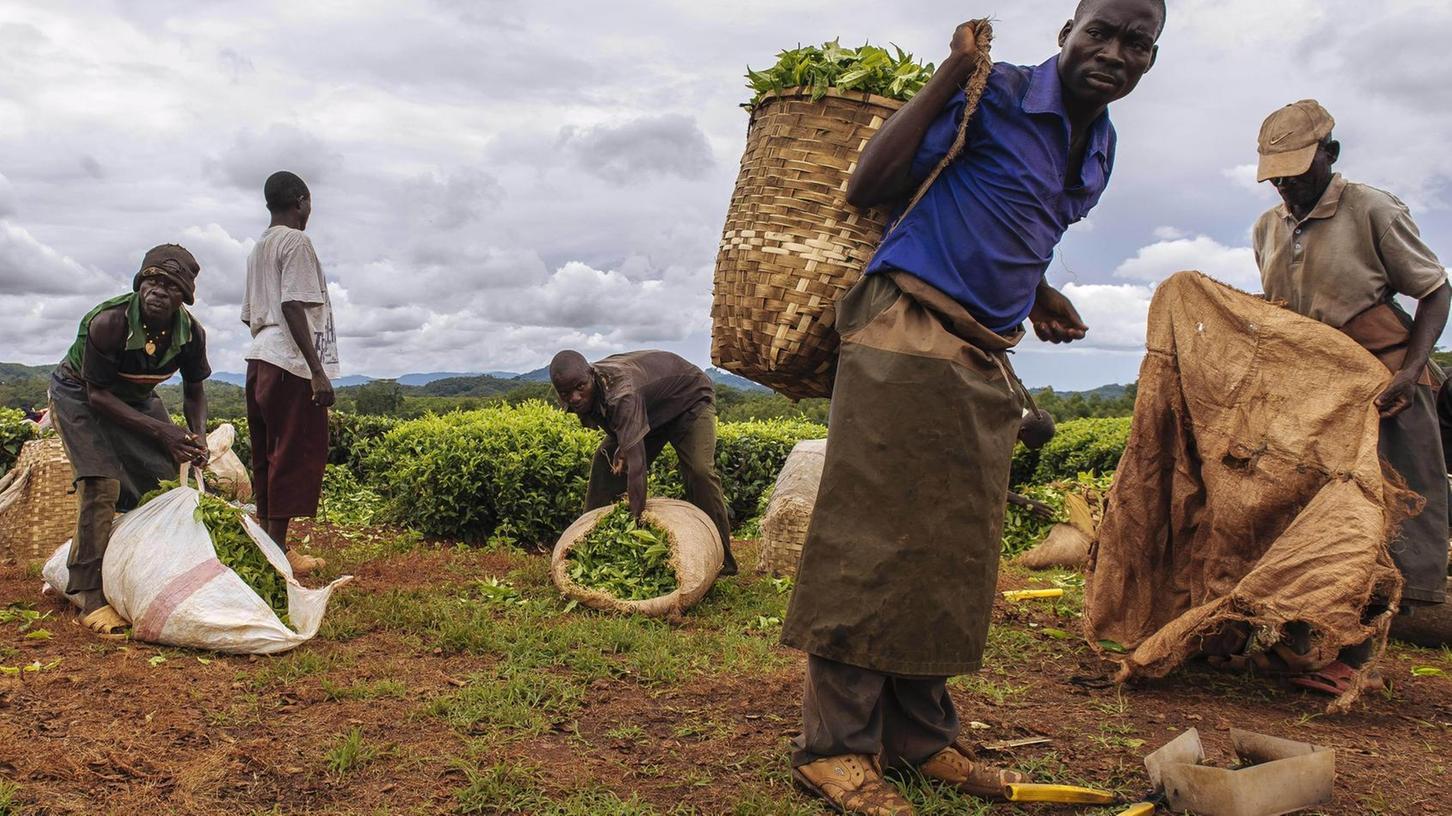 Menschenwürdige Arbeitsbedingungen und entsprechende Löhne für Produzenten und Arbeitende, hier Teepflücker auf einer Plantage im afrikanischen Malawi – auch darum geht es beim Thema Fairtrade.
