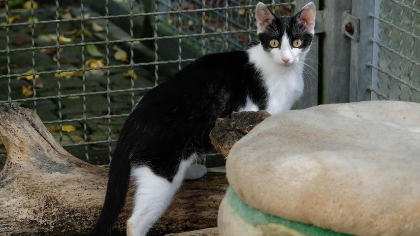 """Die schwarz-weiße Katze """"Rosalie"""" kam als Fundtier ins Tierheim Neumarkt und sie brachte dort ihre drei Babys zur Welt, die sie liebevoll großzog. Doch irgendwann enden diese manchmal etwas strapaziösen Mutterpflichten und die etwa ein Jahr alte """"Rosalie"""" würde nun gerne wieder ihr eigenes Leben leben. Sie kommt aus ländlicher Gegend, sie ist an Freigang gewöhnt, und deshalb wäre für sie eine nette Familie mit Häuschen und Garten ideal. Mit Artgenossen hat die zierliche """"Rosalie"""" keine Probleme, solange sich diese ihr gegenüber nicht dominant zeigen. Sollte jemand zwei Katzen ein Zuhause geben wollen, so würde Katzenmutter """"Rosalie"""" bestimmt auch gerne mit einem ihrer Kinder ins neue Zuhause ziehen.Um die Ausbreitung der Pandemie nicht zu fördern und um unsere Mitarbeiter und Besucher zu schützen, wurde das Tierheim Neumarkt komplett für Besucher, Gassigeher und Katzenstreichler geschlossen. Um den Tieren jedoch nicht die Chance auf ein neues Zuhause zu verbauen, finden Tiervermittlung und Beratung dennoch telefonisch beziehungsweise nach vorheriger Terminvereinbarung zwischen 14.30 und 17 Uhr unter Telefon (0 91 81) 2 28 62 statt. In Notfällen und im Falle von Fundtieren ist das Tierheim ebenfalls unter dieser Telefonnummer erreichbar. Hier geht es zur Internet-Seite des Tierheims"""