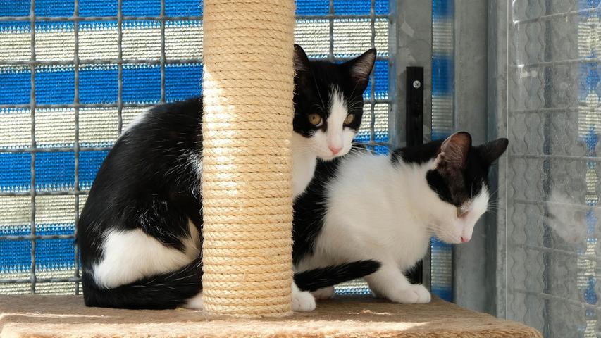 """Die zwei schwarz-weißen Kater """"Maxi"""" und """"Pauli"""" würden sich sehr freuen, endlich ein eigenes, neues, gemeinsames Zuhause zu bekommen. Die Geschwisterchen, die im Mai 2021 geboren wurden, wurden als winzige Katzenbabys mutterlos in einem Garten gefunden und ihre Ersatz-Mama hat sie auf der Pflegestelle liebevoll aufgepäppelt. Die beiden kleinen Racker sind lebhaft und ihre neue Familie sollte nicht den ganzen Tag außer Haus sein. Über ein verkehrsberuhigt gelegenes Häuschen im Grünen würde sich das Duo sehr freuen, denn eines Tages, wenn sie groß genug sind, werden sie sicher Freigang haben wollen. Für kleinere Kinder sind die Kätzchen nicht geeignet, auch auf Hunde in der Familie würden sie gerne verzichten.Um die Ausbreitung der Pandemie nicht zu fördern und um unsere Mitarbeiter und Besucher zu schützen, wurde das Tierheim Neumarkt komplett für Besucher, Gassigeher und Katzenstreichler geschlossen. Um den Tieren jedoch nicht die Chance auf ein neues Zuhause zu verbauen, finden Tiervermittlung und Beratung dennoch telefonisch beziehungsweise nach vorheriger Terminvereinbarung zwischen 14.30 und 17 Uhr unter Telefon (0 91 81) 2 28 62 statt. In Notfällen und im Falle von Fundtieren ist das Tierheim ebenfalls unter dieser Telefonnummer erreichbar. Hier geht es zur Internet-Seite des Tierheims"""