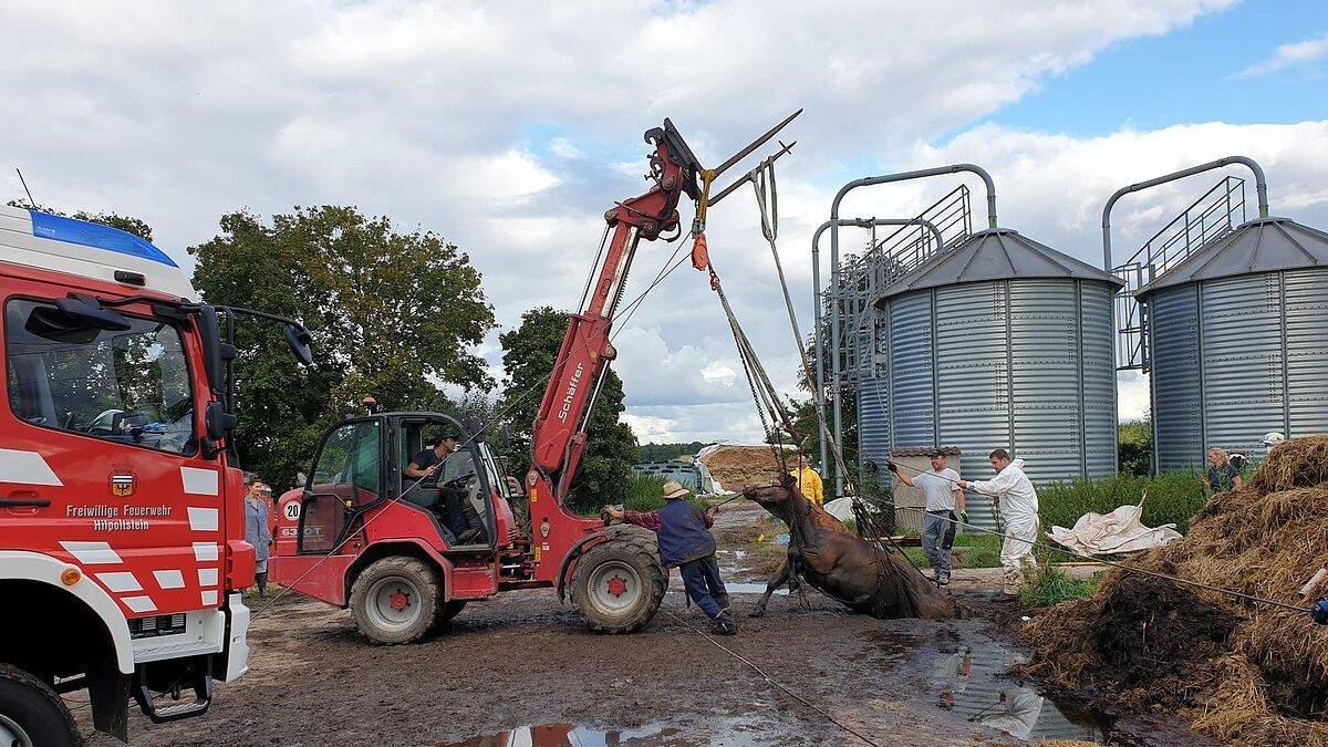 Mit einem Spezialgeschirr wird die Kuh aus der Güllegrube gezogen.