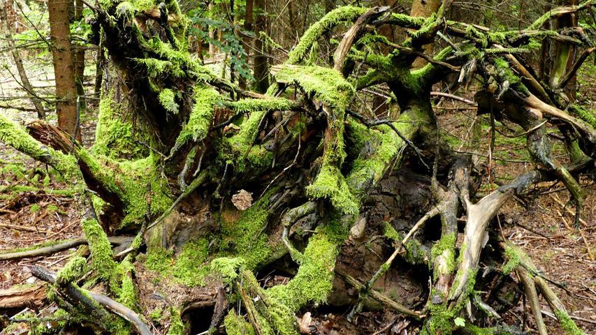 Hier dürfen umgestürzte Bäume liegen bleiben. Die Natur hat schon Besitz davon ergriffen.