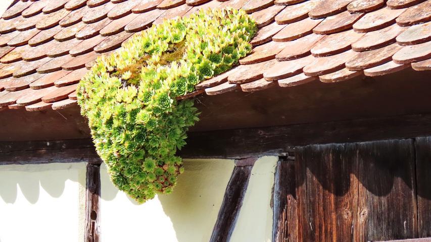 Eine wachsende grüne Dachlawine, von der aber keine Gefahr ausgeht (gesehen in Burgbernheim).