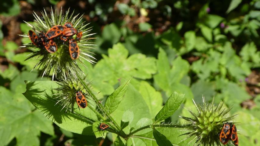 Am Waldrand in Gößweinstein haben sich viele Feuerwanzen auf Pflanzen und an Bäumen versammelt.