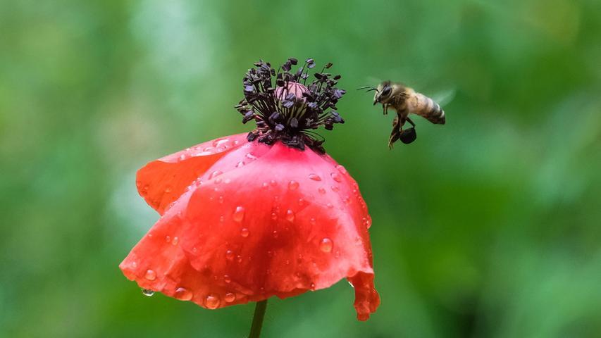 Eine Biene im Anflug auf eine Mohnblume - es sieht so aus, als ob sie ein Körbchen zum Sammeln für den Nektar dabei hat.