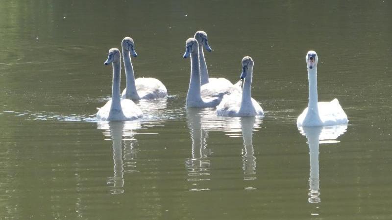 Elegant: Eine Schwanenfamilie beim Ausflugauf einem See.