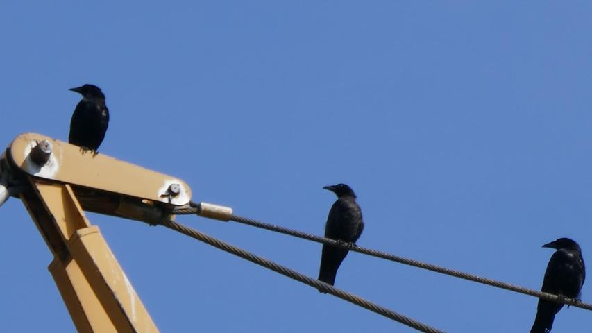 Was diese drei Rabenvögel so fasziniert, wissen sie nur selbst. Den Blick haben sie aber wie auf Kommando dorthin gerichtet.