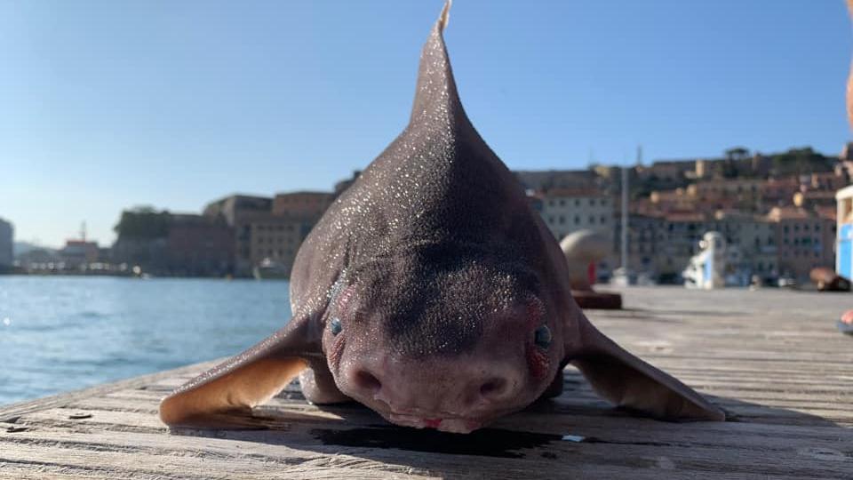 Die gefleckte Meersau wurde am 19. August aus dem Mittelmeer gefischt.