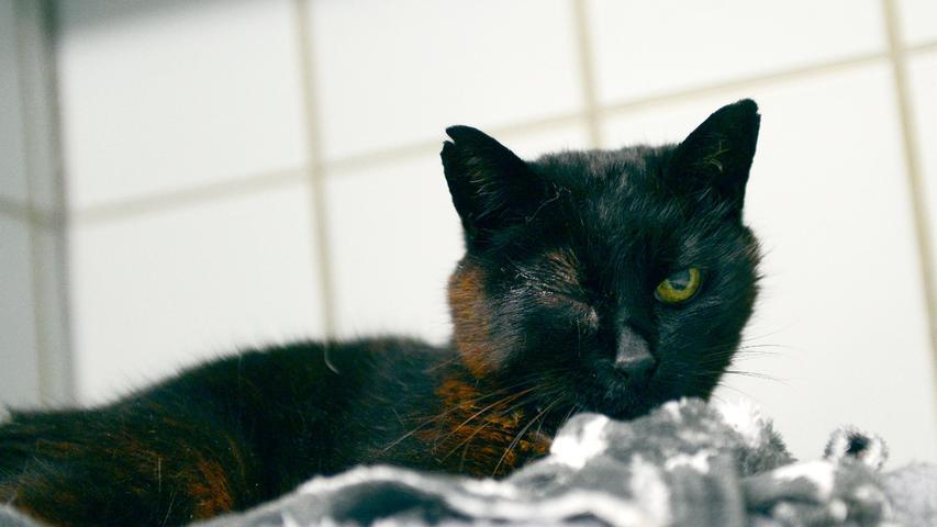 Für die schwarze Katze wäre es besonders wichtig, ihr Zuhause wieder zu finden, denn die Katzenlady ist schon ziemlich betagt. Sie wurde am 30. August morgens in Berngau auf der Kläranlage entdeckt und sie saß dort den ganzen Tag vor dem Zählerraum. Am 31. August, als sie noch immer da war, wurde sie ins Tierheim Neumarkt gebracht. Dort ist bisher keine solche Katze im Vermisstenregister erfasst und die Katze hat leider auch keine Tätowierung und keinen Chip, so dass auch ihre Besitzer noch nicht ausfindig gemacht werden konnten. Wo wird diese Katze vermisst?Um die Ausbreitung der Pandemie nicht zu fördern und um unsere Mitarbeiter und Besucher zu schützen, wurde das Tierheim Neumarkt komplett für Besucher, Gassigeher und Katzenstreichler geschlossen. Um den Tieren jedoch nicht die Chance auf ein neues Zuhause zu verbauen, finden Tiervermittlung und Beratung dennoch telefonisch beziehungsweise nach vorheriger Terminvereinbarung zwischen 14.30 und 17 Uhr unter Telefon (0 91 81) 2 28 62 statt. In Notfällen und im Falle von Fundtieren ist das Tierheim ebenfalls unter dieser Telefonnummer erreichbar. Hier geht es zur Internet-Seite des Tierheims