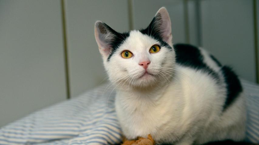 """Auch der weiß-schwarze Kater, der am 3. September in Neumarkt in der Veit-Jung-Straße in einem Garten saß und keine Absicht hatte, irgendwann einmal wieder zu gehen, trug keine Kennzeichnung, mit der man im Tierheim hätte etwas anfangen können. Der etwa sechs Monate alte Kater trug nur ein Halsband und als man im Tierheim den Clip mit der Aufschrift """"My home"""" öffnete, befand sich darunter nichts. Halsbänder für Katzen sind wegen der Gefahr, dass sich die Katze versehentlich damit strangulieren könnte, ohnehin umstritten und in diesem Fall hier ist das Halsband ohne einen entsprechenden Hinweis auf die Besitzer im wahrsten Sinn des Wortes wirklich """"für die Katz"""". Wer kennt diesen Kater oder wer weiß, wo er wohnt?Um die Ausbreitung der Pandemie nicht zu fördern und um unsere Mitarbeiter und Besucher zu schützen, wurde das Tierheim Neumarkt komplett für Besucher, Gassigeher und Katzenstreichler geschlossen. Um den Tieren jedoch nicht die Chance auf ein neues Zuhause zu verbauen, finden Tiervermittlung und Beratung dennoch telefonisch beziehungsweise nach vorheriger Terminvereinbarung zwischen 14.30 und 17 Uhr unter Telefon (0 91 81) 2 28 62 statt. In Notfällen und im Falle von Fundtieren ist das Tierheim ebenfalls unter dieser Telefonnummer erreichbar. Hier geht es zur Internet-Seite des Tierheims"""