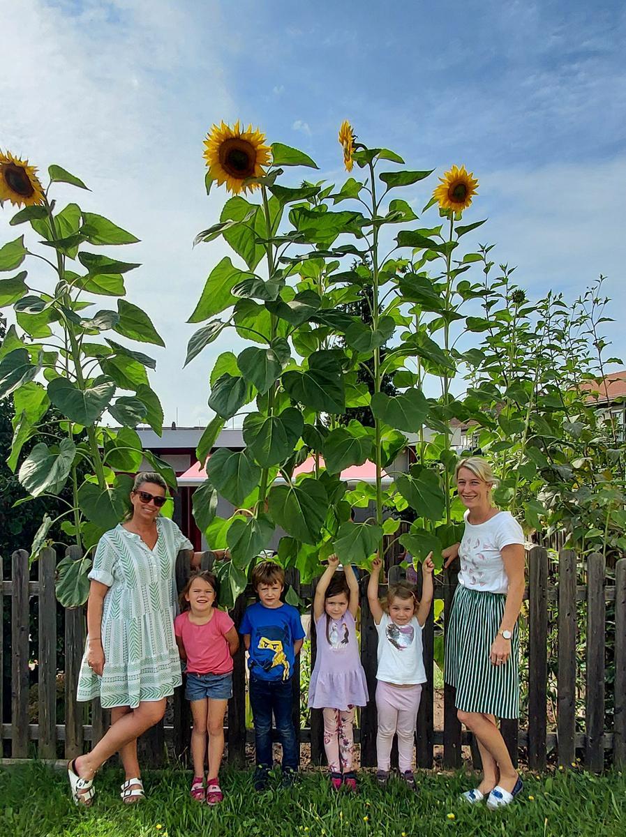 Soooo groß: die Sonnenblumen im Montessori Kindergarten Schwarzenbruck