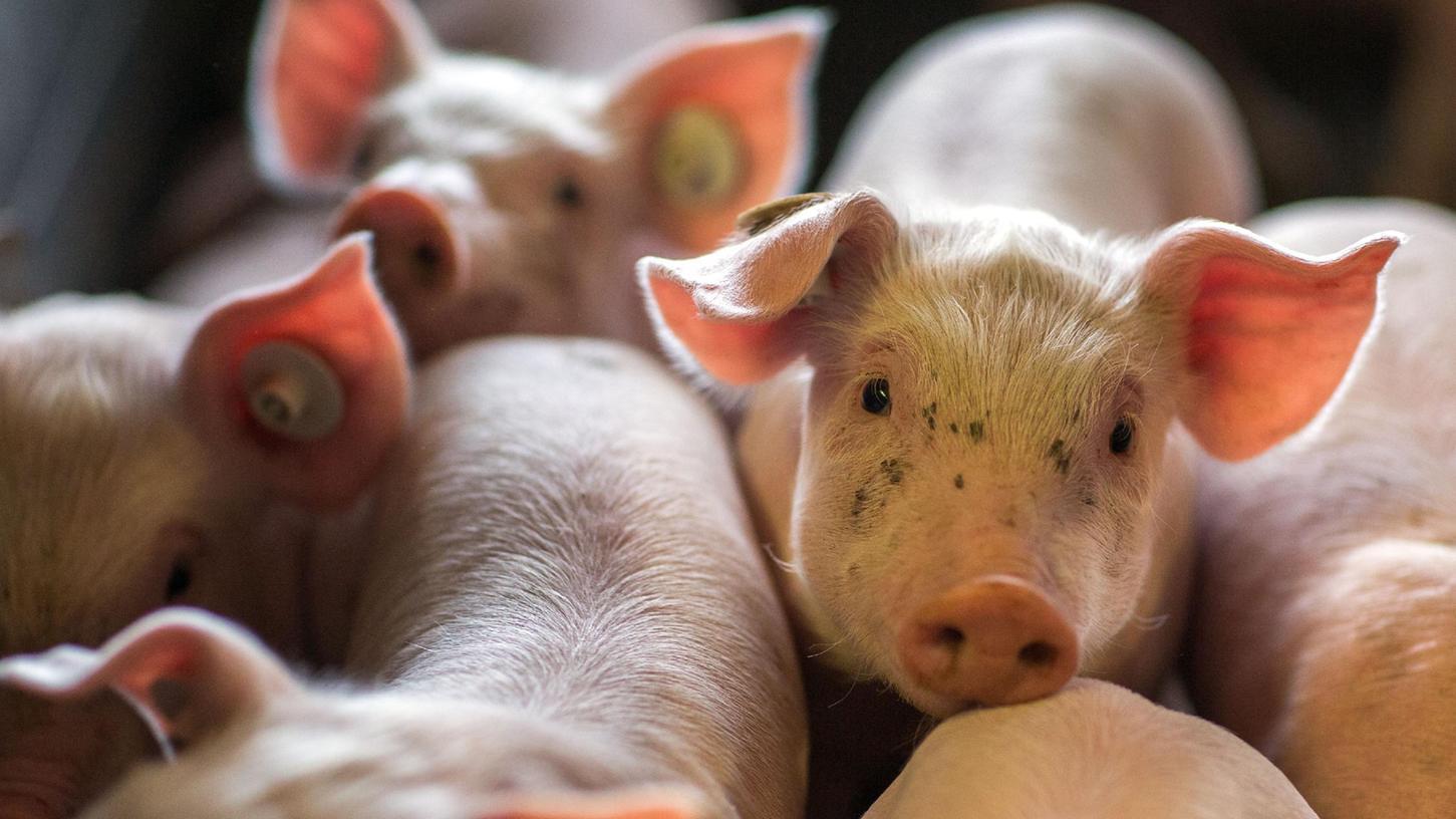 Wenige Tage alte Ferkel in einer Box in den Abferkelställen einer Schweinezuchtanlage. Viele Menschen kritisieren die Zustände in der Massentierhaltung.