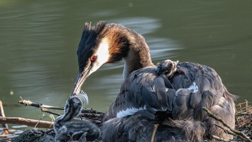 Brutplatz Wöhrder See: Ein Nest mit Haubentaucherküken, die von den Eltern liebevoll umsorgt werden.