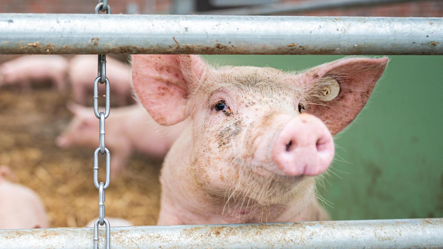 Auf einem Hof guckt ein Schwein im Stall zwischen zwei Stangen hindurch. Ob das Tier gentechnisch verändertes Futter gefressen hat, erfährt der Verbraucher beim Fleischeinkauf nicht automatisch.