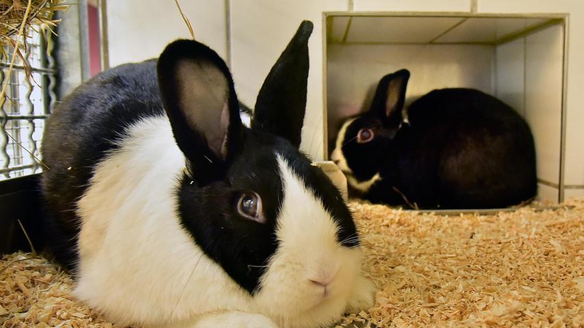 Die beiden Kaninchen Mars und Flecki sind 2018 und 2020 geboren und wurden aufgrund einer Tierhaarallergie der Besitzer im Tierheim abgegeben. Die beiden Kaninchen sind nun gemeinsam auf der Suche nach einem neuen Zuhause.
