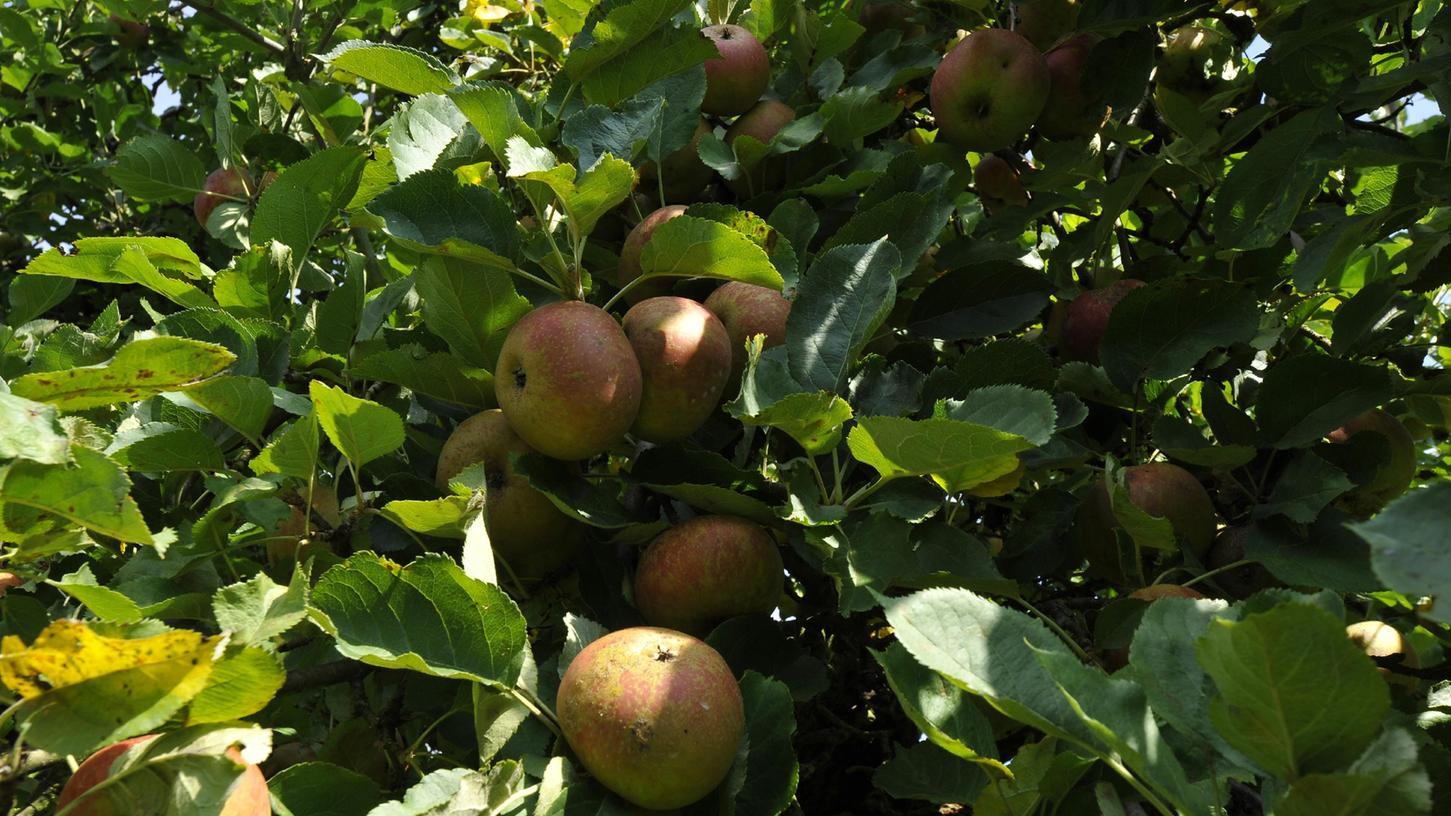 Viele Äpfel sind jetzt reif.
