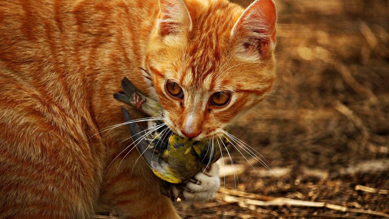 Katzen töten in Deutschland geschätzt jährlich 30 Millionen Vögel