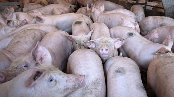 Verband fordert mehr Werbung für deutsches Schweinefleisch