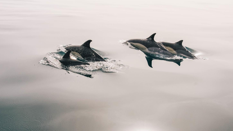 Auf den Färöer-Inseln sind abermals mehrere hundert Delfine in einen Fjord getrieben und anschließend getötet worden.