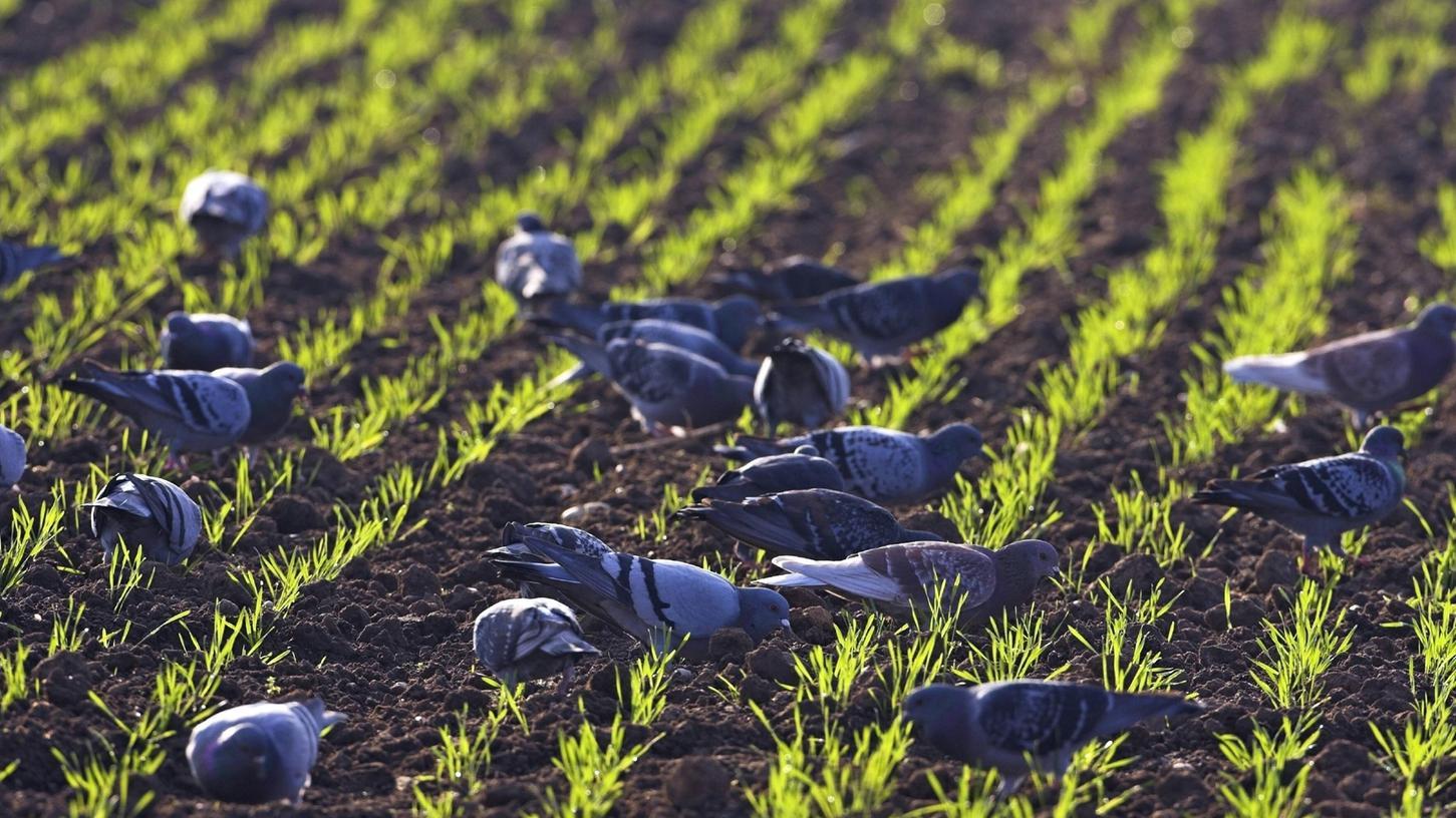 Verwilderte Haustauben richten nach Angaben des Bayerischen Bauernverbandes Schäden auf den Feldern an.