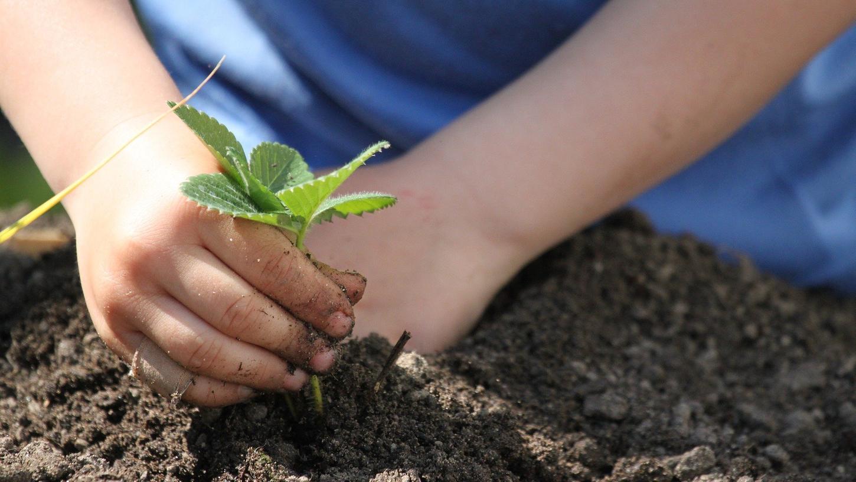 Damit Erdbeeren, Salat und Co. kräftig wachsen können, sollten Sie Ihr Beet möglichst unkrautfrei halten.