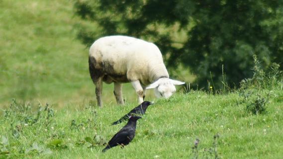 Schafe von einer Weide gestohlen