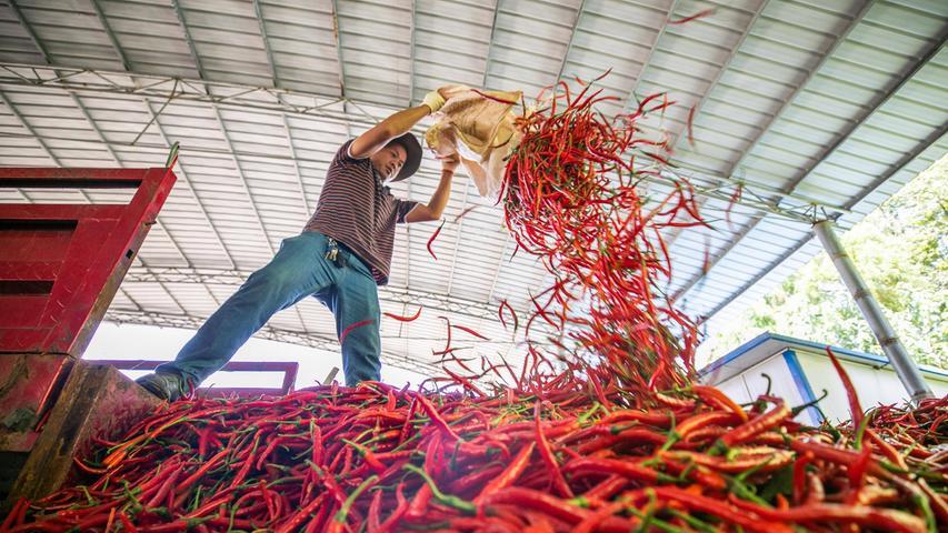 Es sind nicht die Kerne: Welcher Teil der Chili ist am schärfsten?