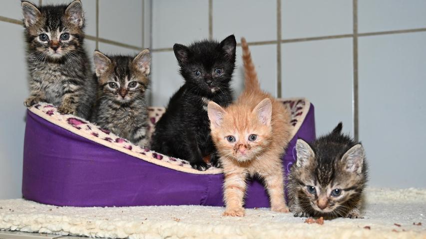 Am 11. September wurden gleich fünf Katzenkinder ins Tierheim Neumarkt gebracht. Sie wurden mutterlos in einem Schuppen in Berching, Zum Rachental, gefunden. Nachdem die etwa sechs bis sieben Wochen alten Kätzchen sehr zutraulich sind, muss davon ausgegangen werden, dass sie schon einmal Kontakt zu Menschen hatten. Wo in dieser Gegend kam eine Katzenmutter ohne ihren Nachwuchs nach Hause? Es wäre schön, wenn auf diesem Wege die Katzenfamilie wieder zusammengeführt werden könnte.Um die Ausbreitung der Pandemie nicht zu fördern und um unsere Mitarbeiter und Besucher zu schützen, wurde das Tierheim Neumarkt komplett für Besucher, Gassigeher und Katzenstreichler geschlossen. Um den Tieren jedoch nicht die Chance auf ein neues Zuhause zu verbauen, finden Tiervermittlung und Beratung dennoch telefonisch beziehungsweise nach vorheriger Terminvereinbarung zwischen 14.30 und 17 Uhr unter Telefon (0 91 81) 2 28 62 statt. In Notfällen und im Falle von Fundtieren ist das Tierheim ebenfalls unter dieser Telefonnummer erreichbar. Hier geht es zur Internet-Seite des Tierheims