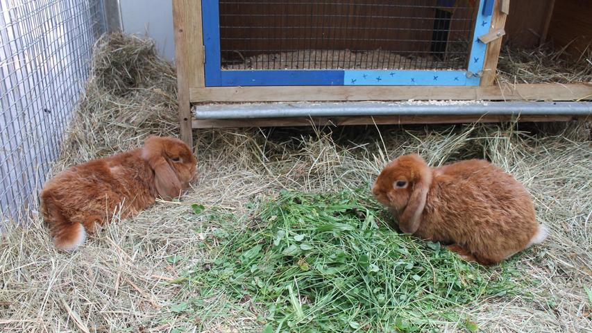 Egon und Emil, zwei männliche kastrierte Rammler, sehr lieb und zutraulich warten im Tierheim Forchheim, außerdem noch fünf weitere männliche kastrierte Rammler und vier weibliche Kaninchen.