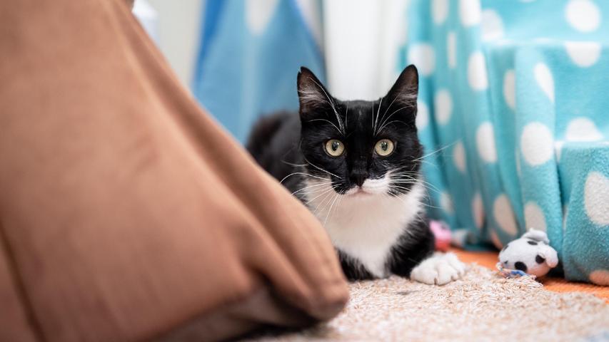 """Kater Ernie– Rasse: Europäisch Kurzhaar – ist drei Jahre alt und einer, der """"sich seine Leute aussucht"""", sagen die Mitarbeiter im Tierheim. Das heißt, dass er zickig werden kann und gerade zu Beginn oft noch unsicher ist. Er benötigt Eingewöhnungszeit. Wenn er jemanden kennt, ist Ernie aber lieb und verschmust. Kinder sollten nicht in der Wohnung leben, aber ein Balkon ist wichtig.An anderen Katzen ist der Kater dafür durchaus interessiert. Aber Ernie ist nicht gesund. Er hat eine Herzmuskelverdickung und hatte eine Beckenfraktur. Deshalb benötigt er zunächst ein Einzelzimmer ohne Klettermöglichkeit und Physiotherapie.  Mehr Informationen gibt es beim Tierheim Nürnberg, Stadenstraße 90, 90491 Nürnberg, Telefon (0911) 919890."""