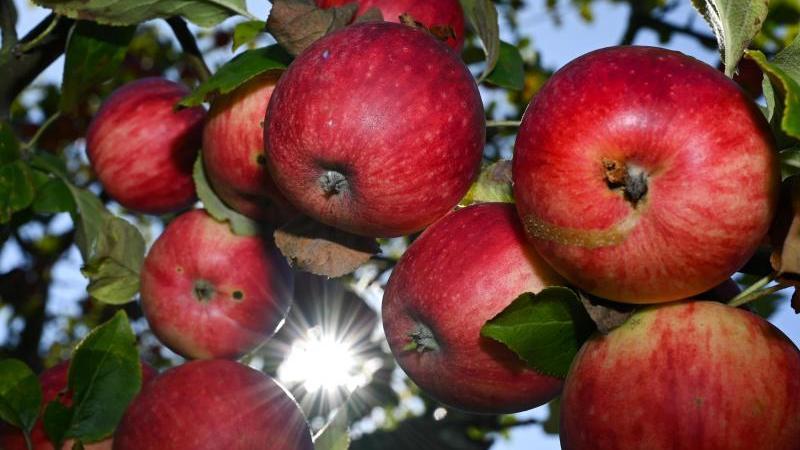Die meisten Äpfel an den Bäumen sind nun reif und können geerntet werden.