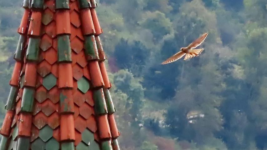 Ein Turmfalke umfliegt in schnellem Flug bei Kinding einen Turm - nicht leicht im Bild festzuhalten.