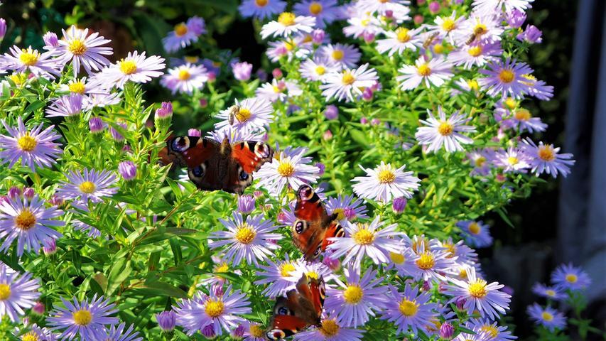 Der Herbst bietet noch einen reich gedeckten Tisch für Schmetterlinge.