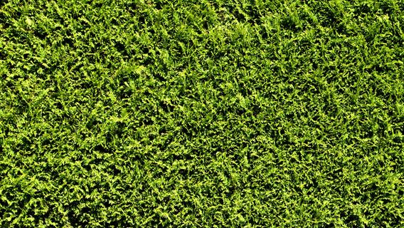 Darum sollten Sie Hecken aus Kirschlorbeer und Thuja jetzt schleunigst aus dem Garten entfernen