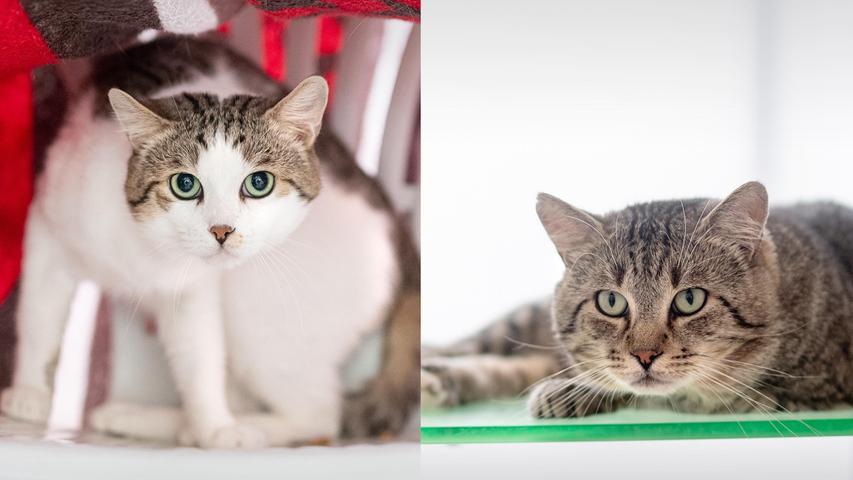 Oskar und Otto gehören zusammen. Die beiden vierjährigen Kater sind Freigänger und wären in einer ländlichen Umgebung gut aufgehoben. Sie brauchen etwas Zeit zur Eingewöhnung und ein ruhiges Zuhause ohne Kinder. Die beiden mögen andere Katzen. Oskar lässt sich noch nicht anfassen, ist aber sehr neugierig. Otto ist sehr lieb und verschmust, redet gerne und liegt gerne erhöht.  Mehr Informationen gibt es beim Tierheim Nürnberg, Stadenstraße 90, 90491 Nürnberg, Telefon (0911) 919890.