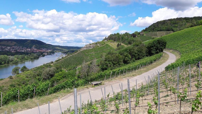 Jetzt ist es wieder soweit, die fränkischen Winzer sind im Leserausch. Trotz widriger Wetterkapriolen hatte der Müller Thurgau Ende September bereits 80 Grad Oechsle. Im Bild der Lebensspender, der Main mit seinen sonnigen Steillagen.