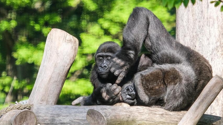 Familienidyll im Tiergarten: Die Flanchlandgorillas