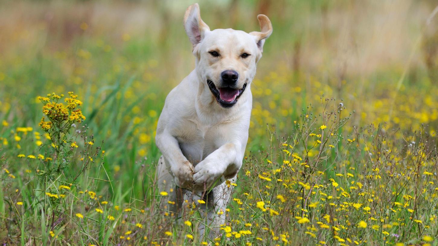 Ein Hund springt fröhlich durch eine Wiese. Doch um seine Hinterlassenschaften muss sich der Halter kümmern.