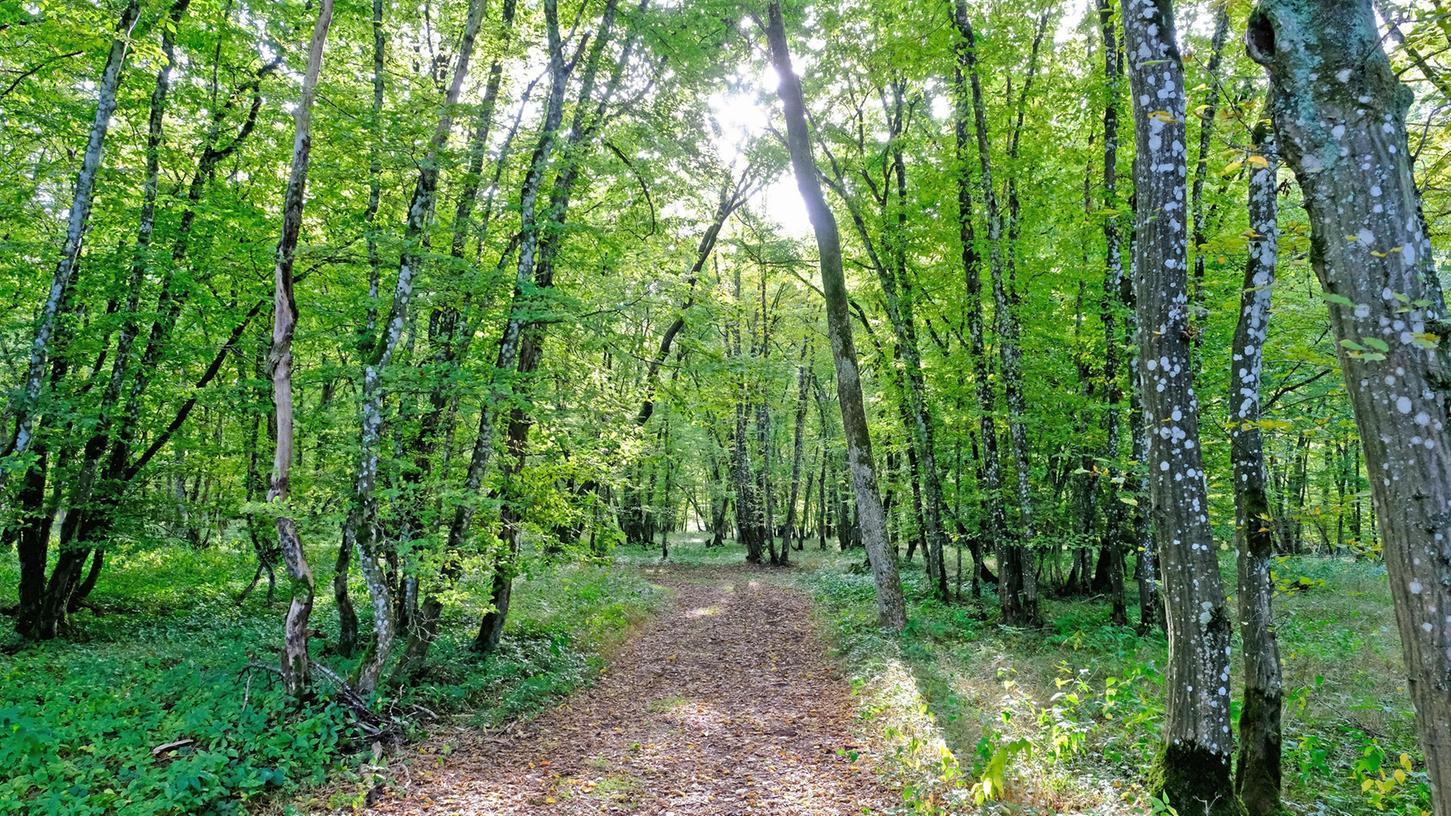 Nachhaltigkeit bleibt im Weißenburger Wald, hier eine Aufnahme vom Rohrberg, oberstes Gebot. Daran ändern auch die Spitzenpreise auf dem Holzmarkt nichts, machte Forstamtsleiter Jürgen Fischer deutlich.