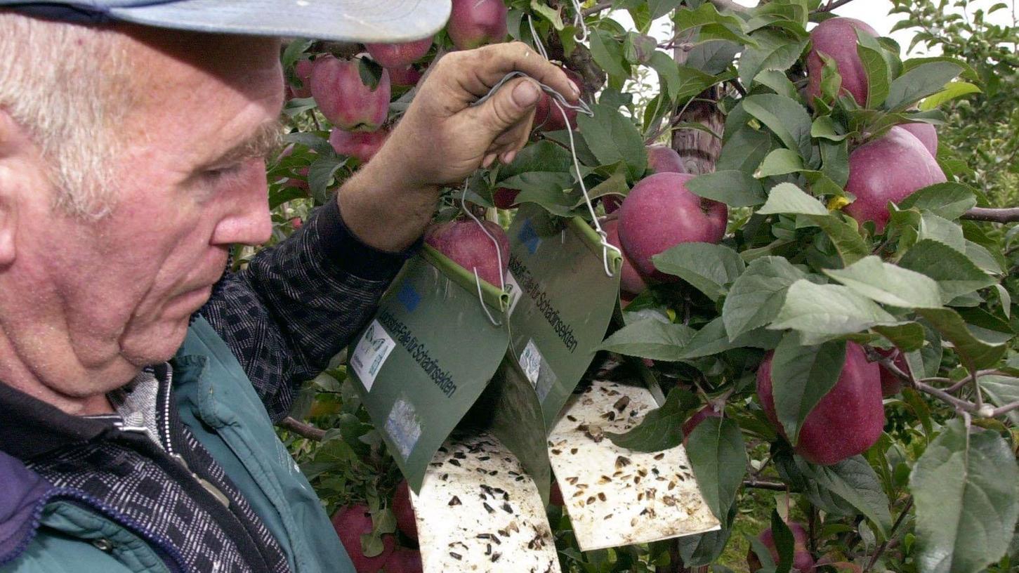 Ein Obstbauer kontrolliert seine Insektenfallen für Apfelwickler.