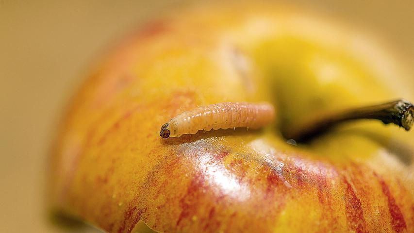 Der Apfelwickler ist einer der gefürchtetsten Schädlinge. Er frisst sich gern durch Obst und hinterlässt danach seine Häufchen im Fraßgang.