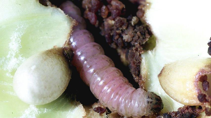 Eine Raupe des Apfelwicklers frisst sich durch die Frucht. Der am weitesten verbreitete Apfelschädling ist auf natürlichem Wege zu bekämpfen - nur wie?