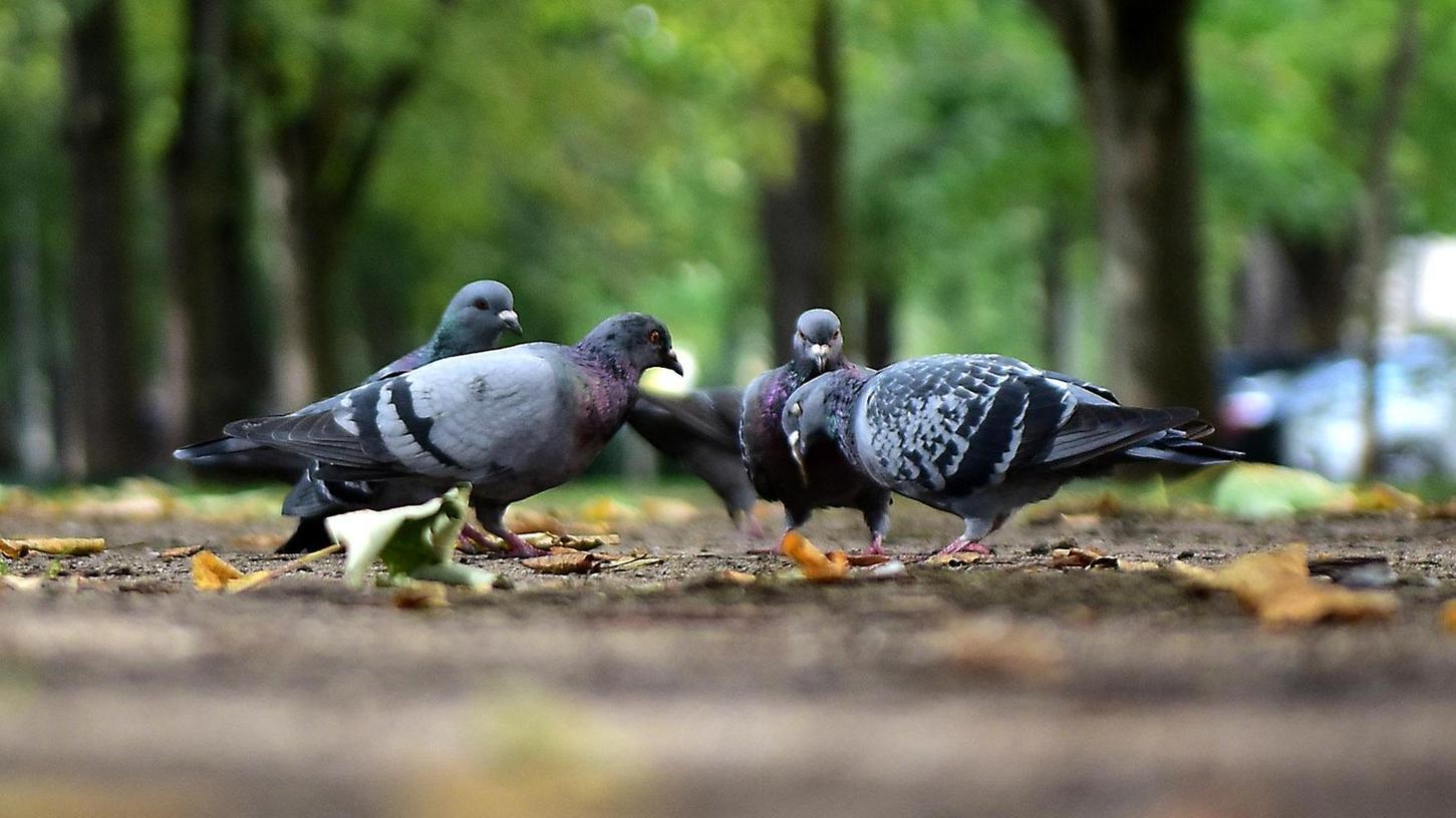 Wenn Tauben im Park nach Futter suchen, stören sie kaum jemanden. Anders ist das, wenn sie Gebäude und Gehwege in der Innenstadt mit Kot verschmutzen.