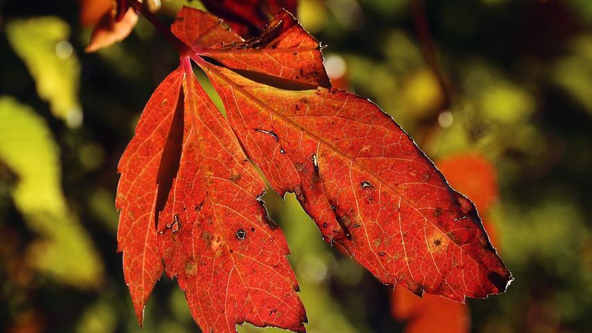 Erste farbige Blätter. Es begingt die bunte Zeit des Oktobers.