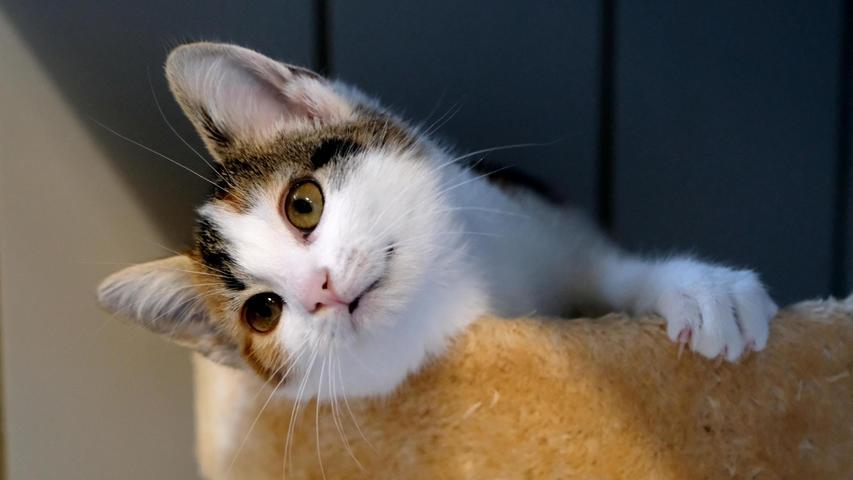 Das dreifarbige Katzenmädel ist eines dieser Fundtiere. Das Kätzchen ist etwa fünf Monate alt und es wurde in Neumarkt hinter dem Neuen Markt auf einem Parkplatz aufgelesen. Das Kätzchen ist nicht nur hübsch, sondern auch ausgesprochen zutraulich. Normalerweise lässt man Kätzchen in diesem Alter noch nicht alleine draußen herum sausen, denn in diesem Alter haben Katzen noch kein Gefahrenbewusstsein. Wie schnell sie dann abhandenkommen, sieht man an diesem Beispiel deutlich. Wenn man schon einer Katze in diesem Alter Freigang gewährt, dann sollte man ihr auch einen Mikrochip zur Kennzeichnung spendieren. So ein Chip kann durch den Tierarzt in jedem Alter gesetzt werden und hätte das Kätzchen solch einen Chip, wäre es schon längst wieder daheim. Wo wird diese Katze vermisst?Um die Ausbreitung der Pandemie nicht zu fördern und um unsere Mitarbeiter und Besucher zu schützen, wurde das Tierheim Neumarkt komplett für Besucher, Gassigeher und Katzenstreichler geschlossen. Um den Tieren jedoch nicht die Chance auf ein neues Zuhause zu verbauen, finden Tiervermittlung und Beratung dennoch telefonisch beziehungsweise nach vorheriger Terminvereinbarung zwischen 14.30 und 17 Uhr unter Telefon (0 91 81) 2 28 62 statt. In Notfällen und im Falle von Fundtieren ist das Tierheim ebenfalls unter dieser Telefonnummer erreichbar. Hier geht es zur Internet-Seite des Tierheims