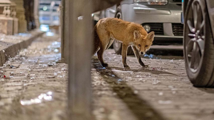 Fuchsjagd im Tiergarten Nürnberg: Ein Dilemma für den Tierschutz