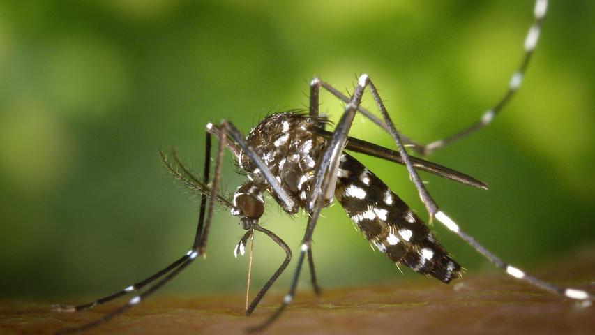 Neue Tigermücken-Funde: Fürther müssen Wasserstellen trocken legen