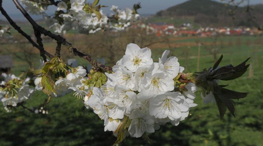 Kirschblüten Walberla