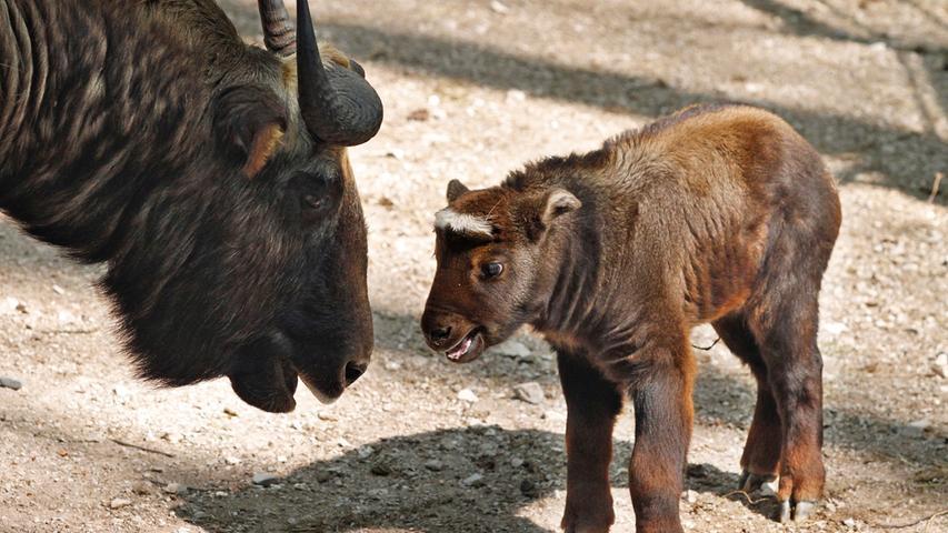 Takine, auf deutsch Rindergemsen oder Gnuziegen genannt, sind wahre Kletterkünstler. Auch die beiden jungen Männchen Lexi und Kobold versuchten sich schon eifrig am Erklimmen von Hindernissen, als sie im April 2011 erstmals in der Öffentlichkeit zu sehen waren. Sie sorgten damals für reichlich Wirbel unter den Besuchern: Zusammen mit dem putzigen Eisbärennachwuchs und einem goldigen Kaffernbüffel befanden sie sich damals in bester Gesellschaft.
