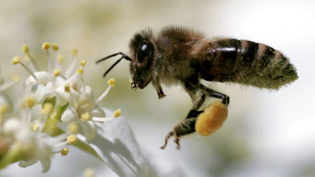 Sind die Pflanzenschutzmittel eine Gefahr für Bienen? Nein, sagen die Chemiekonzerne und wollen gegen das EU-Verbot klagen.